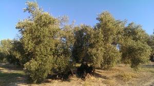 olive-845177_640