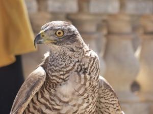 falcon-752413_1920